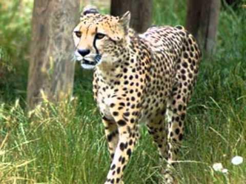 The Cheetah at the Waterhole